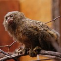 Popular common marmoset. credit John Morton - Copy
