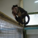 credit Wild Futures (capuchin monkey, emaciated and diabetic)