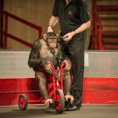 Chimp Show, Germany,  2013, Animal Equality 3