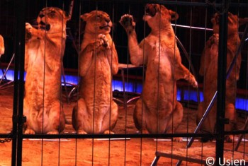 Circus_lions-Germany-C-Usien