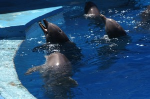 Dolphins in captivity (Photo: Born Free Foundation)