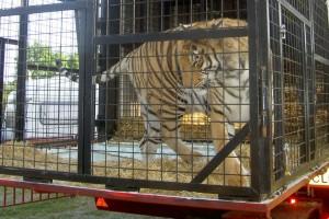 Circus Tiger (Photo: Born Free Foundation)