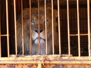 Circus lion (Photo: Born Free Foundation)