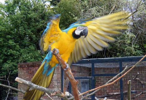 Bird-Pinioning-Macaw