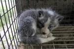 Fox cub in fur farm (Photo: Loomus)