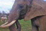 Benjamin the African Elephant (Photo: Animal Public)