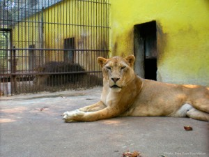 Lions in Bulgarian zoo (Photo: Born Free Foundation)