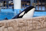 Captive Orca at SeaWorld, Orlando (Photo: Davis and Reid)