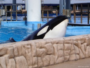 Captive Orca at SeaWorld, Orlando (Photo: Davis and Reid)