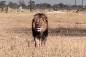 Cecil the lion (Photo: Brian Orford/YouTube)