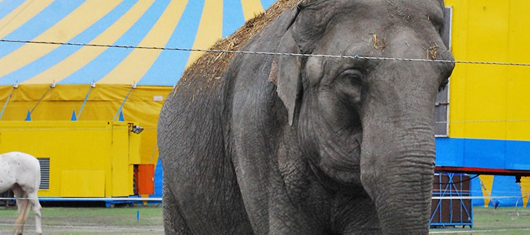 Circus Elephant, the Netherlands (Photo: S. Dubus)