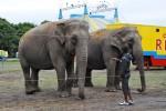 Elephants, Circus Rentz, Holland (Photo: S Dubus)