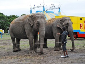 Elephants, Circus Rentz, Holland (Photo: S Dubus)