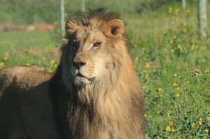 Both lions arrived safely at Shamwari Game Reserve (Photo: The Born Free Foundation)
