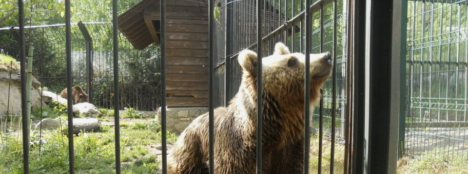 Brown bears Mimo and Aran, will be going to the Libearty Bear Sanctuary (Photo: FAADA)