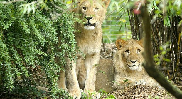 Lion shot dead at Leipzig Zoo (photo: Jan Woltas)