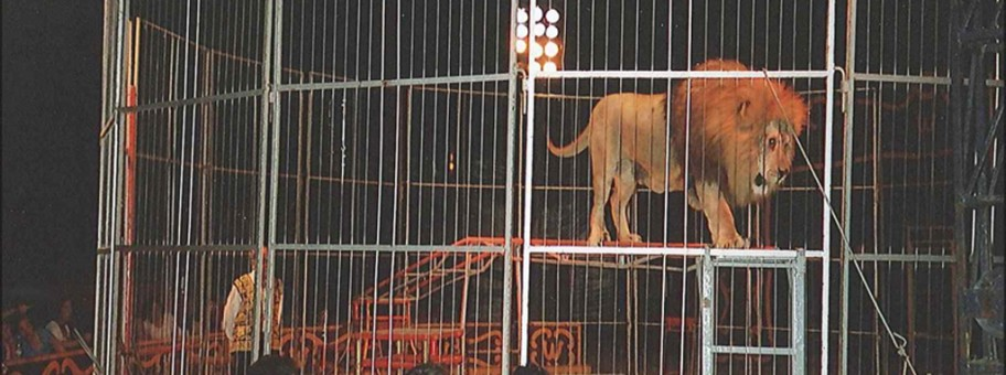 Lion in Circus, Spain