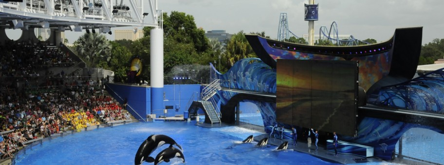 Captive orca at SeaWorld