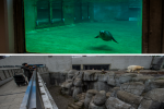 Sealion at Aalborg zoo and polar bear at Copenhagen zoo Denmark