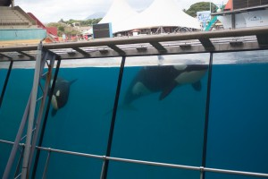 orcas at Marineland Antibes in France